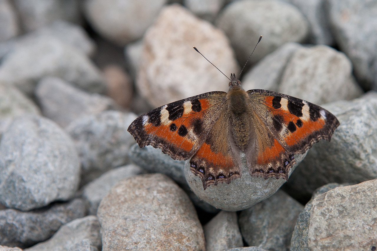 Indian Tortoiseshell Butterfly