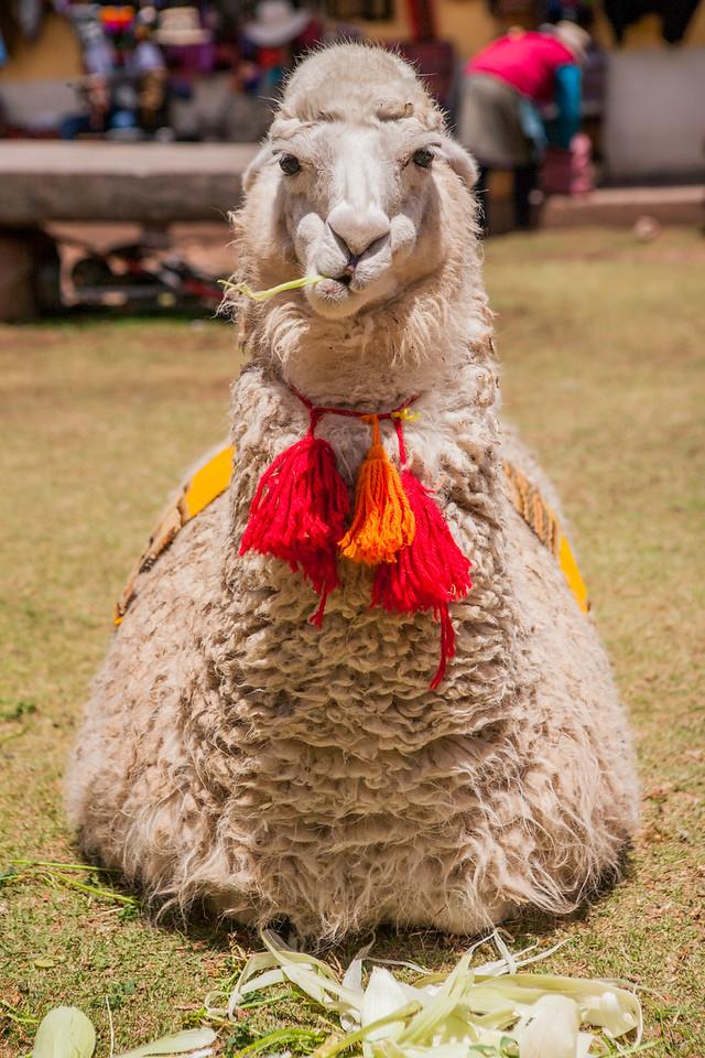 Lama, Cusco, Peru