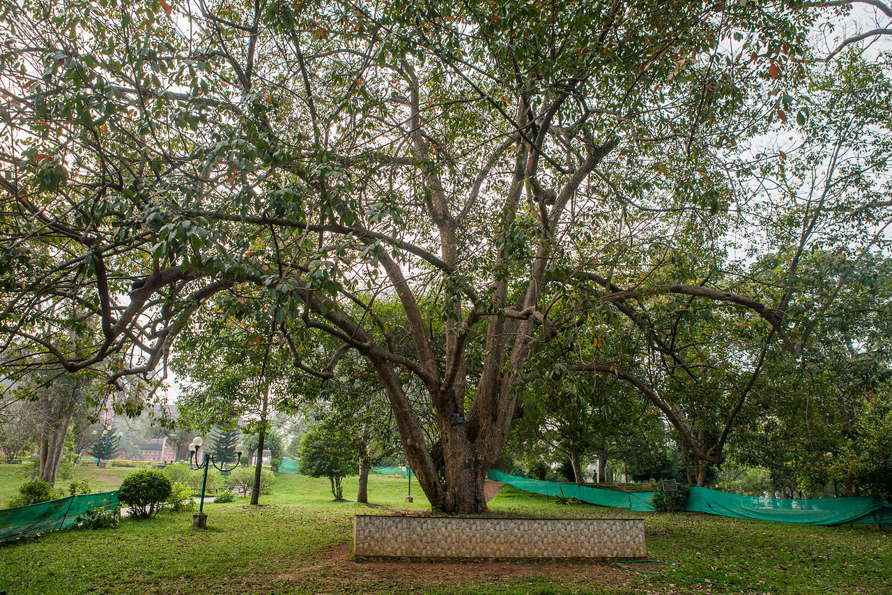 Original rubber tree inside botanical garden in Trivandrum, Kerala, India