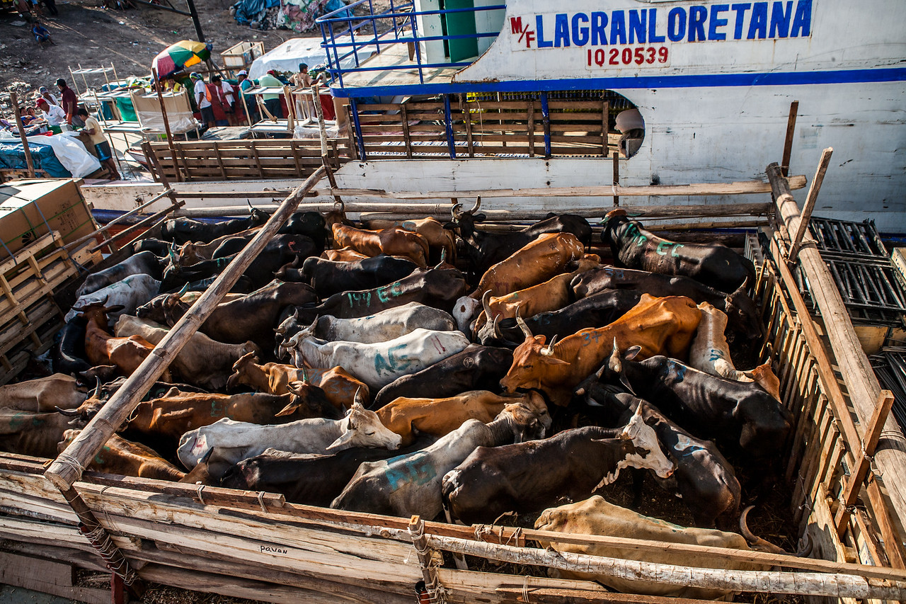 Cattle being transported in the cargo boats to Iquitos
