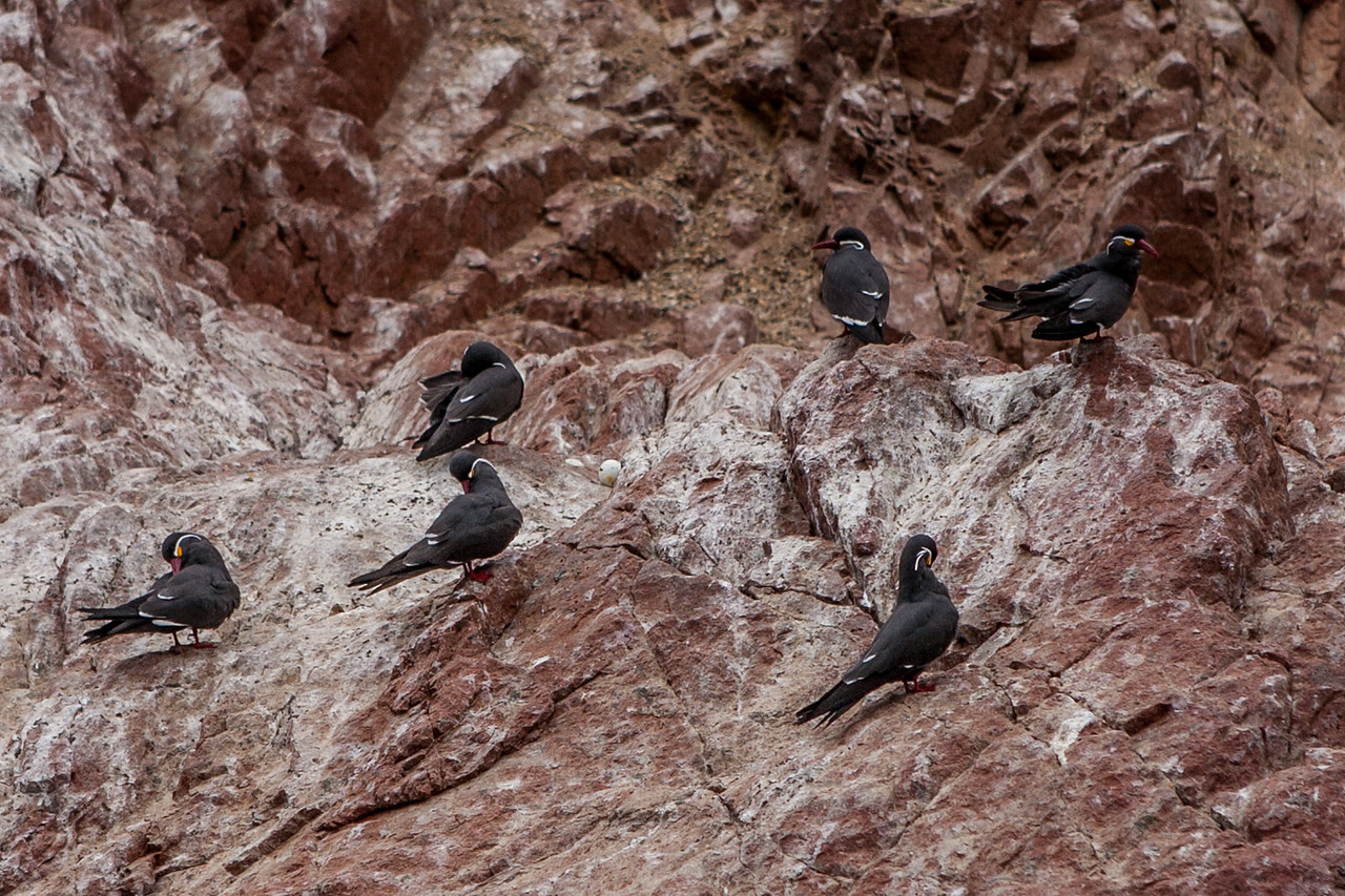 Incan Terns at Islas Ballestas, Peru