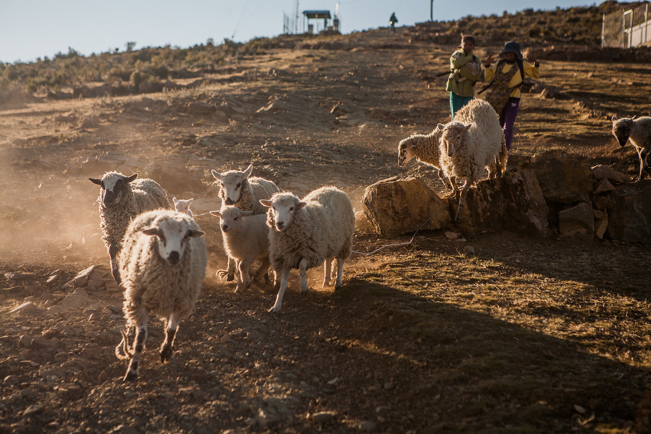 Sheep rearing is a common activity on Isla del Sol, an island on Lake Titicaca in Bolivia