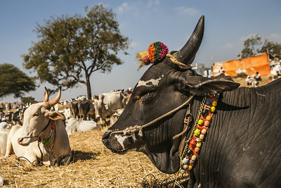 A black decorated bull sits with thousands of other bulls at a cattle fair in the market town of Rajur in rural Maharashtra, India.
