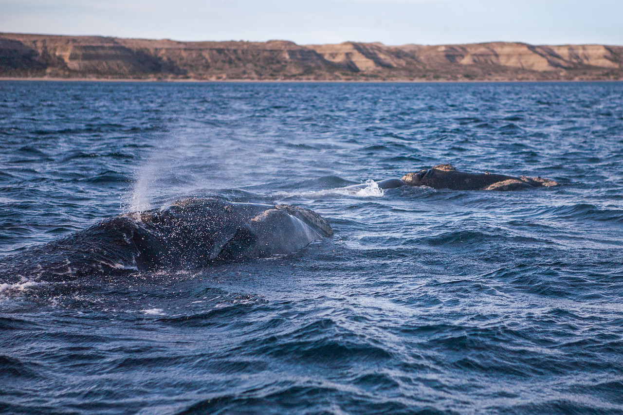 Mother and calf whale at Puerto Piramides. Puerto Piramides near Puerto Madryn in Chubut province of northern Patagonia, Argentina