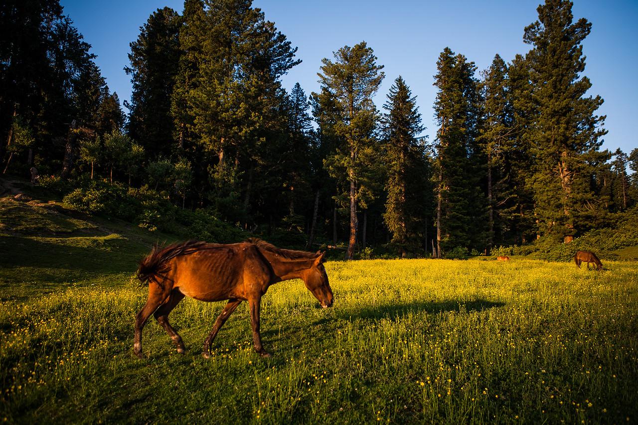 Yusmarg meadows, Kashmir, India