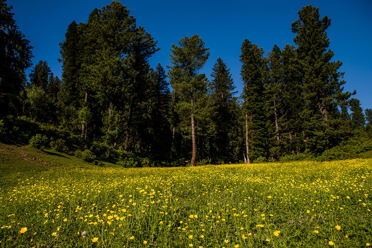 Meadows at Yusmarg, Kashmir, India