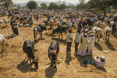 A group of interested buyers do negotiations among the many people at the weekly rural market, an Indian bazaar, a cattle fair, the biggest of the year where farmers trade their cattle specially their bulls or bullocks in the market town of Rajur in rural Maharashtra, India