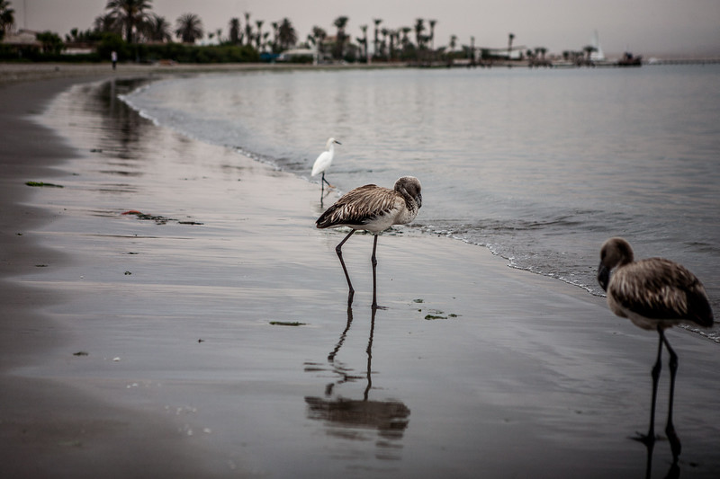 Juvenile flamingo at the Paracas beach en route Islas Ballestas, Peru