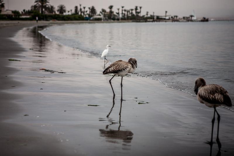 Juvenile flamingo at the Paracas beach en route Islas Ballestas, Peru