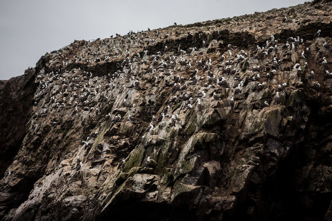 Huge colony of Peruvian boobies at Islas Ballestas