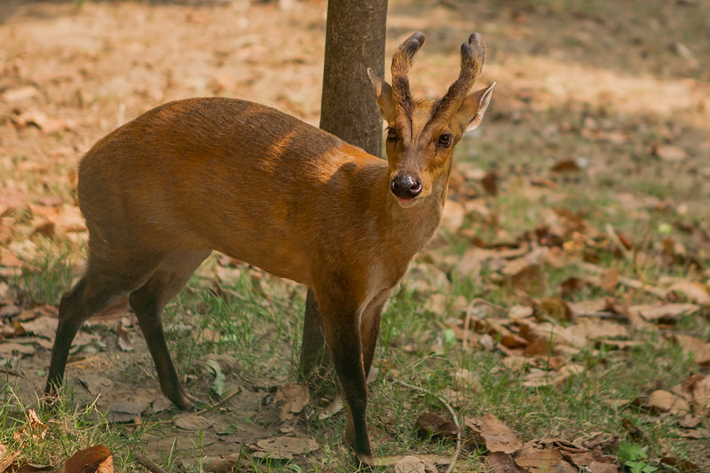 Barking deer at Mansar Lake, India