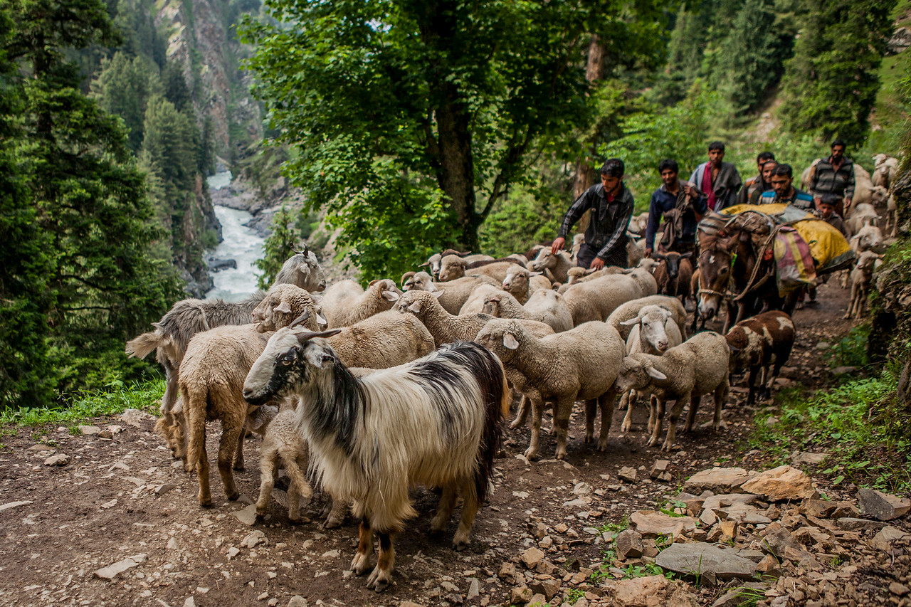 Shepherds taking their flock of sheep into the hills