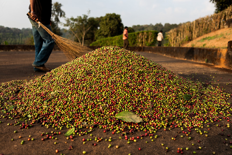 Fresh coffee seeds at a  coffee plantation in Coorg, Karnataka
