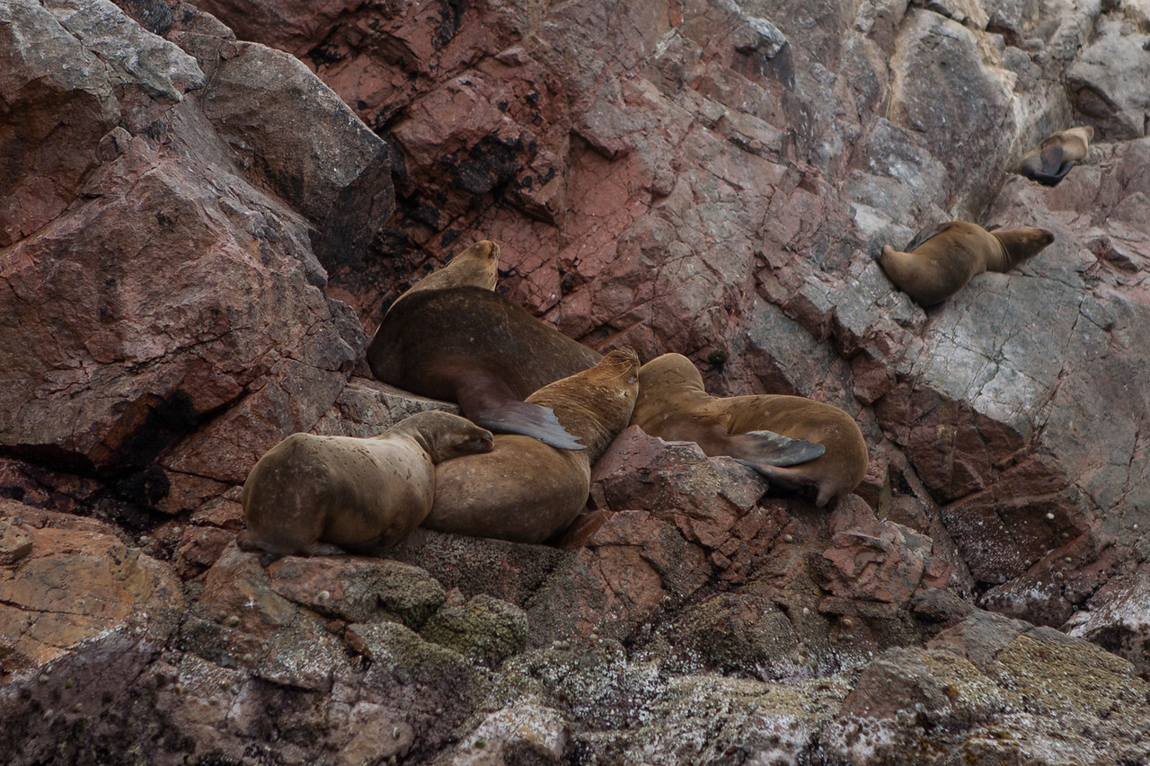 Sea lions drying in the sun at Islas Ballestas, Peru