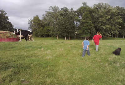 Izaak, Cole, and Joey, Ed's dog, head to the barn for something.  Cows (left) taking notice.