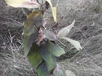 Milkweed.  My grandmother showed me the wonders inside the milkweed pods.
