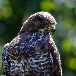 Another Stover Buzzard