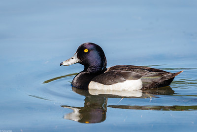 Tufted Duck at Stover