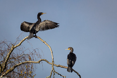 Cormorants on Birch Tree