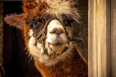Curious Alpaca, Shelburne Farm, Stow MA