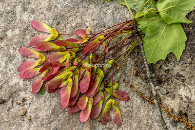 Red Maple Seed Pods, Stow MA