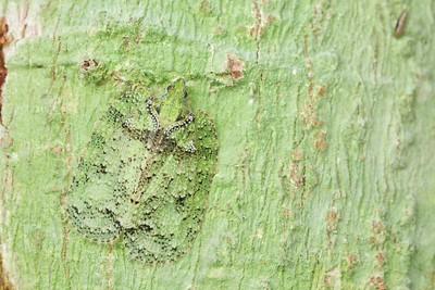Camouflaged flatid hopper (Flatidae)
