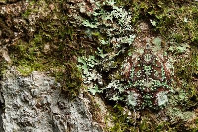 Camouflaged lichen flatid hopper