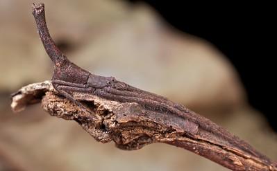 Net-casting spider (Menneus sp.)