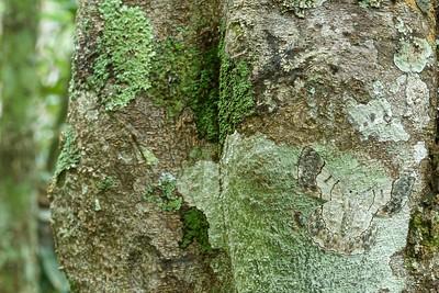 Camouflaged geometrid moth (Pingasa sp.)