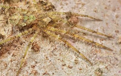Lichen huntsman spider (Pandercetes sp.)