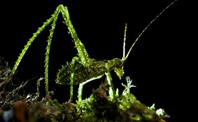 Moss-mimicking katydid