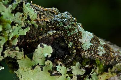 Lichen-mimicking grasshopper