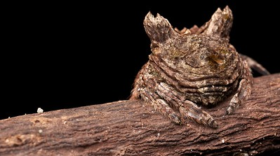 Bark spider (Caerostris sp.)