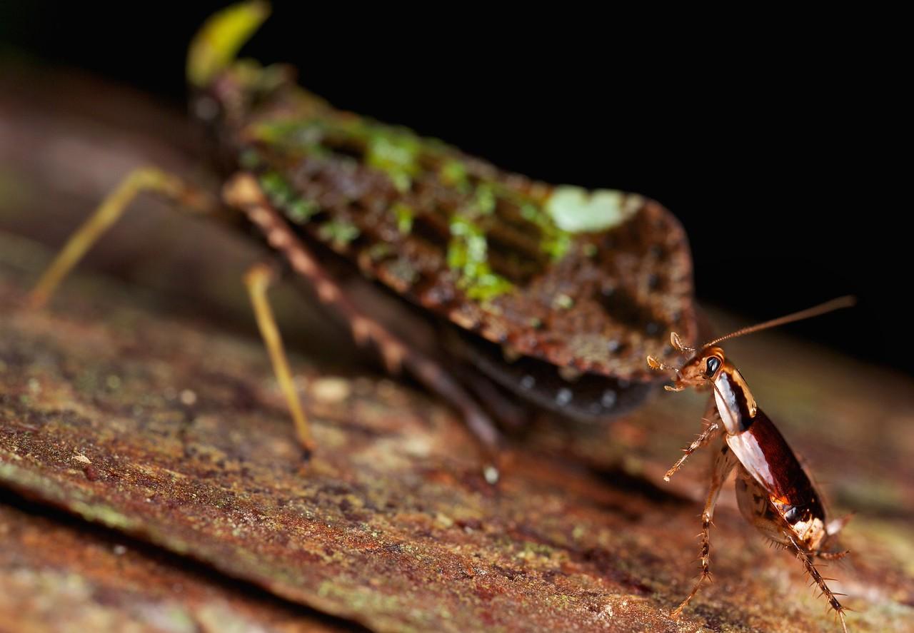 Fulgorid hopper (Belbina recurva) with cockroach  trophobiosis