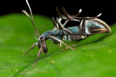 Ant-mimicking moth (Staphmopodidae)