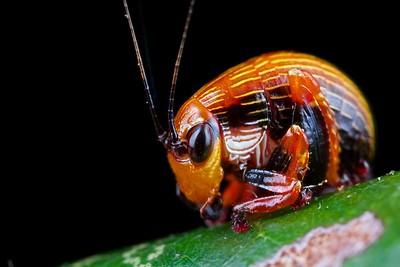 Beetle-mimicking katydid (Plangia graminea)
