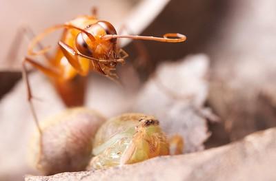 Tarantula hawk (Pompilidae) with arachnid prey
