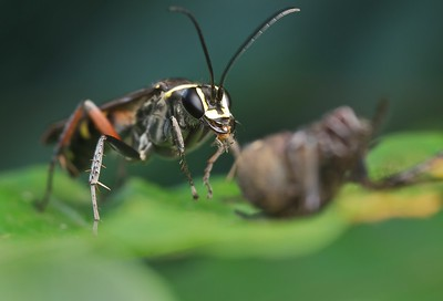 Pompilid wasp with prey
