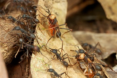 Army ants (Eciton burchelii) column with prey