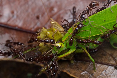 Asian army ants (Leptogenys sp.) with katydid prey