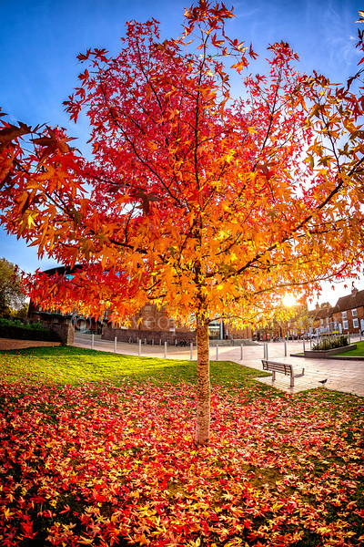 Red Autumn Tree In Stratford