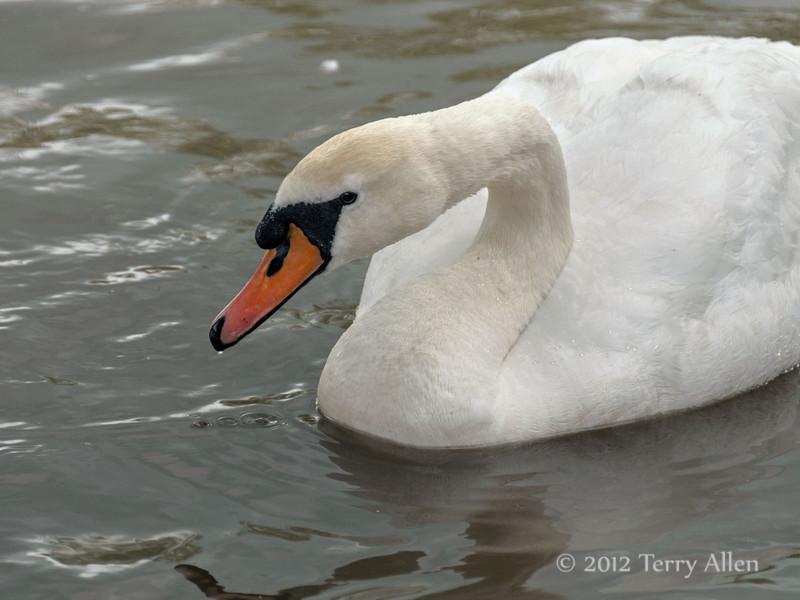 Swan-portrait-1,-Avon-River,-Stratford-upon-Avon