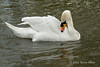 Swan-examining-a-spot-on-its-feathers,-Avon-River,-Stratford-upon-Avon