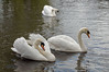 Three-swans,-Avon-River,-Stratford-upon-Avon