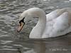 Swan-portrait-3,-Avon-River,-Stratford-upon-Avon