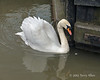 Swan-with-reflection-and-two-floating-feathers,-River-Avon,-Stratford-upon-Avon