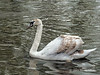 Young-swan-still-changing-colors,-Avon-River,-Stratford-upon-Avon