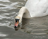 Swan-sipping-water-from-the-Avon-River,-Stratford-upon-Avon