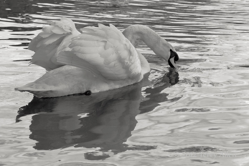 Tri-tone, swan drinking from Avon River, Stratford upon Avon
