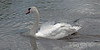 Swan-swimming-against-strong-current-and-creating-bow-wave,-Avon-River,-Stratford-upon-Avon